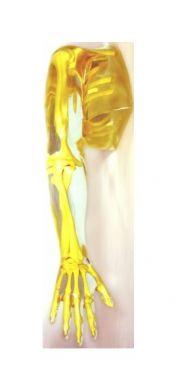 Transparent Complete Arm / Shoulder Phantom